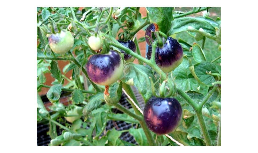 Chuck's purple tomatoes
